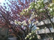 ハナミズキと奥に咲いているのは八重桜です
