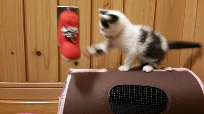 おもちゃにネコパンチする子猫